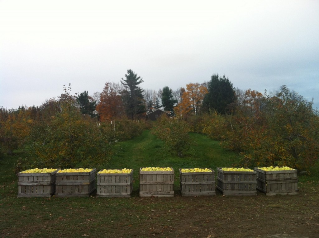 Apple Bins: Last pick, Wheel-View Orchard, Shelburne, MA. Harvest 2012. FIELD MALONEY