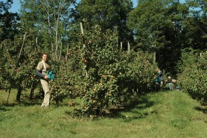 Mike Barnes on the Reine de Pommes, Catamount Hill Orchard. JIM LANGONE