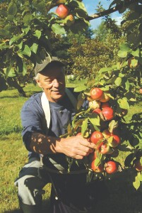Terry Maloney picking Baldwins, harvest 2007, Catamount Hill Orchard. JIM LANGONE